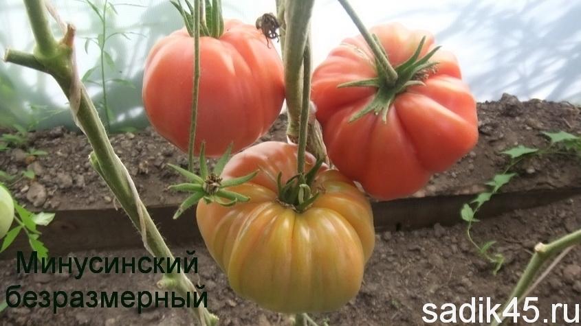 помидоры Минусинский безразмерный фото