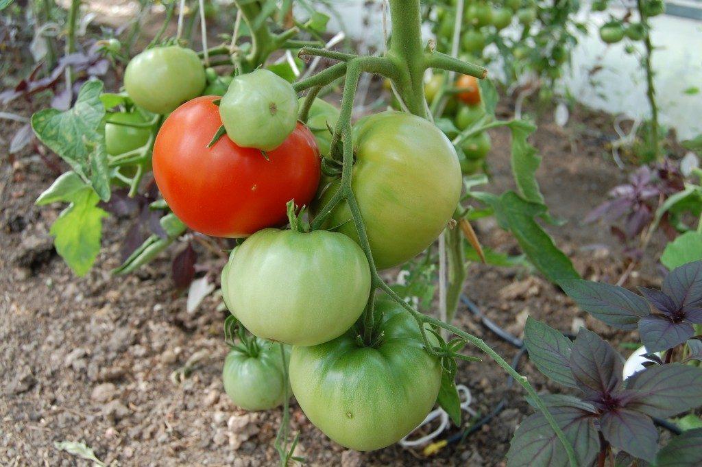 помидоры Космонавт волков фото
