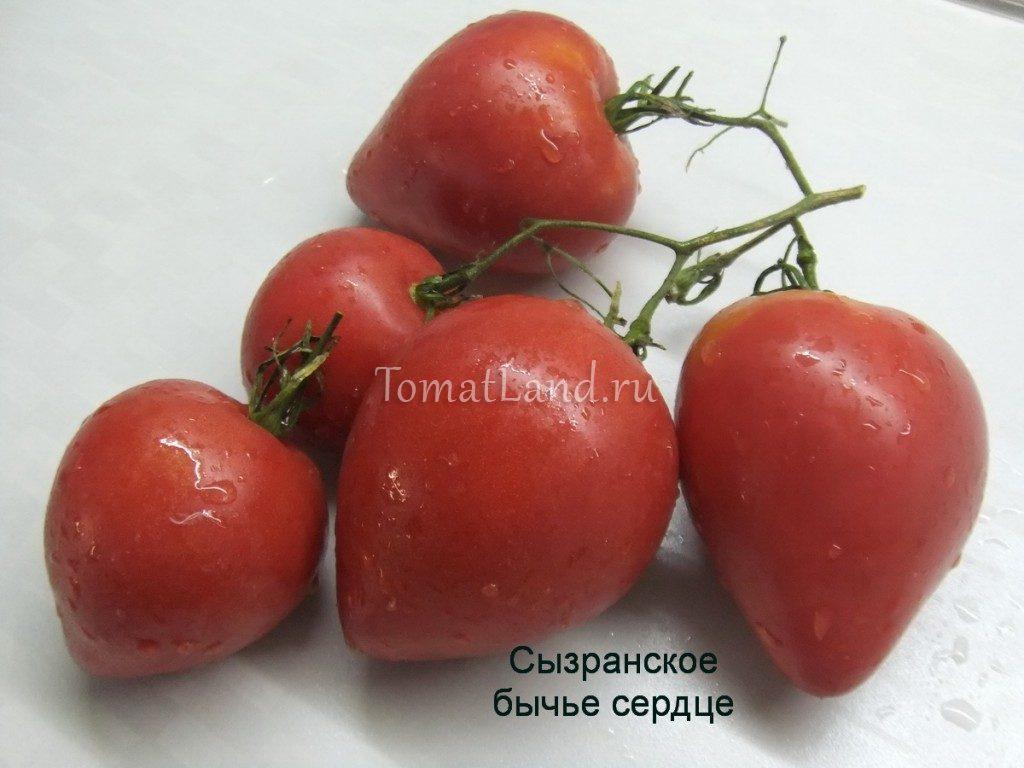 помидоры сызранское бычье сердце фото