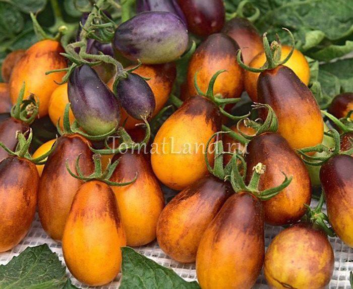 помидор сливовая капля a1 фото