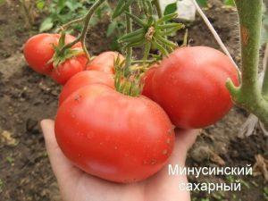 помидор сорт минусинский сахарный фото на кусте