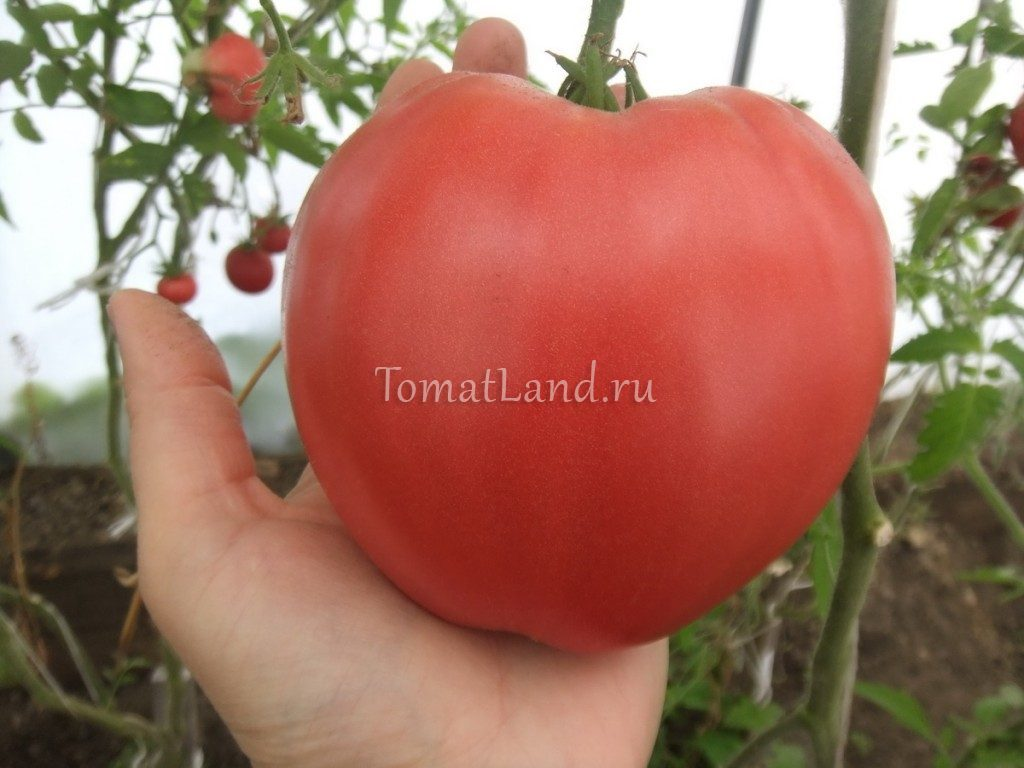 томат плоское сердце из минусинска фото