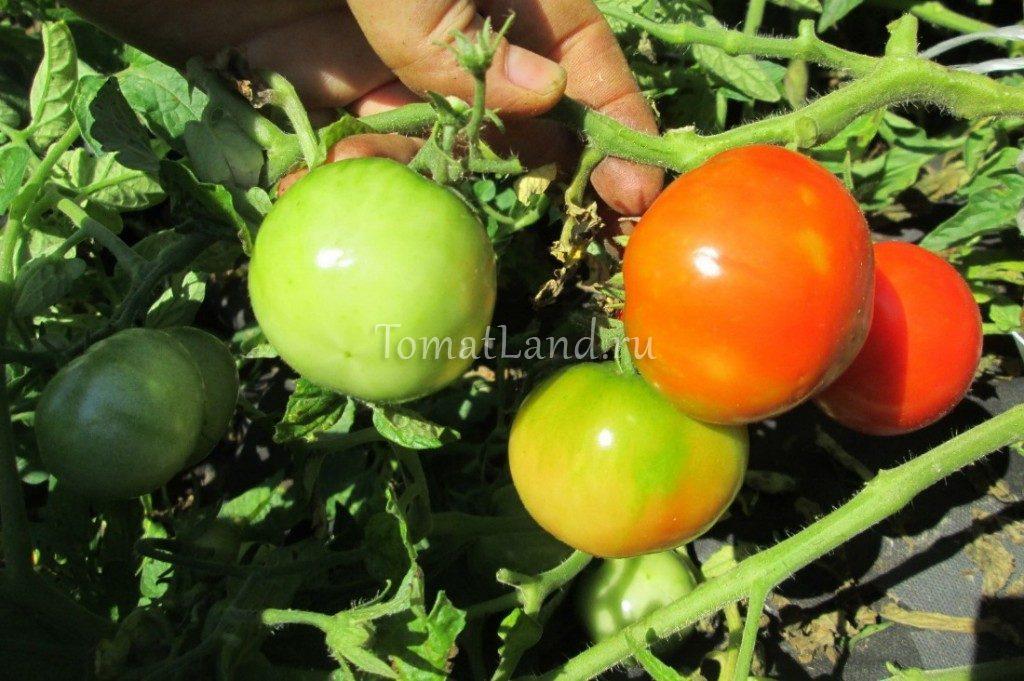 помидоры сковородина фото на кусте