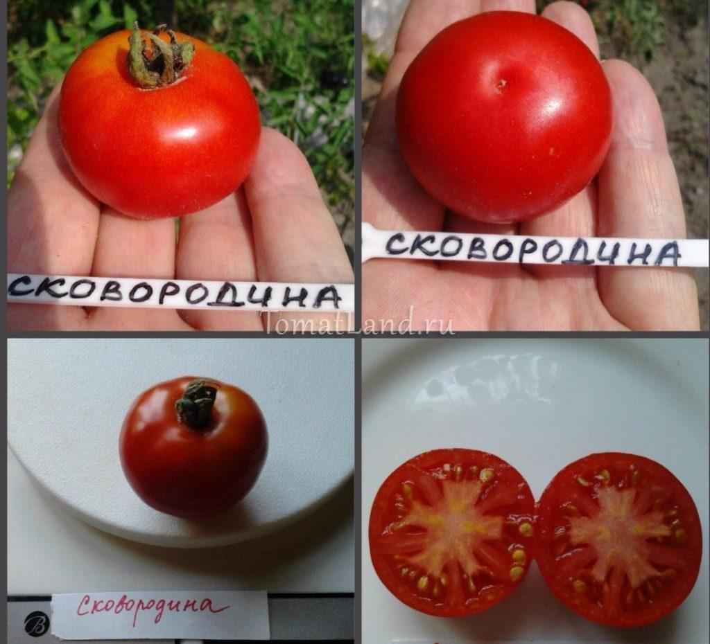 томаты сковородина фото