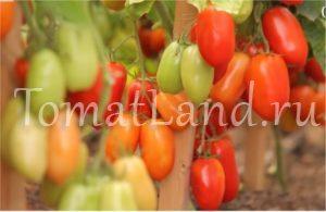 помидоры агафья фото на кусте