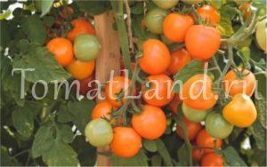 помидор оранжевый земледелец фото на кусте