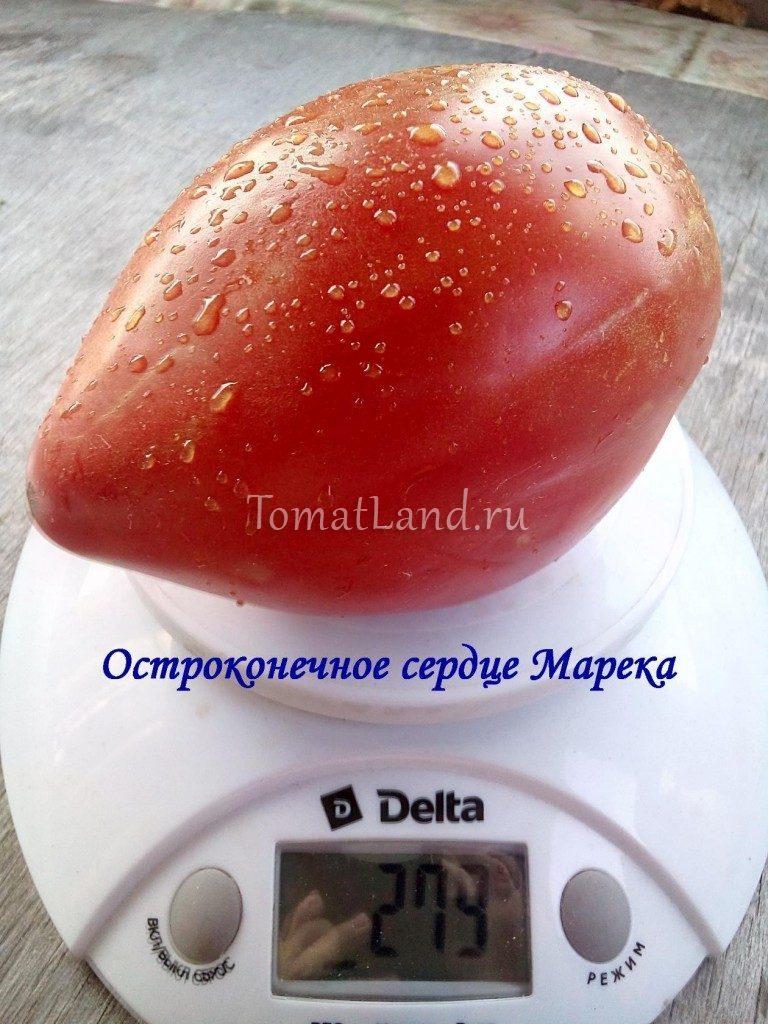 помидор остроконечное сердце марека фото спелых плодов