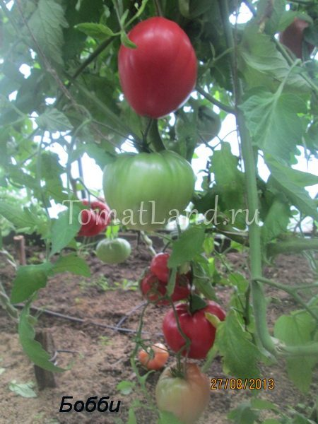бобби томат помидор