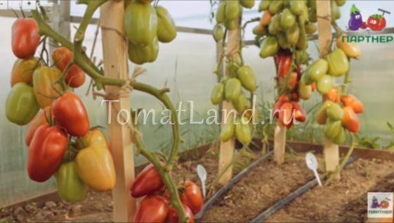 помидоры царское искушение фото отзывы