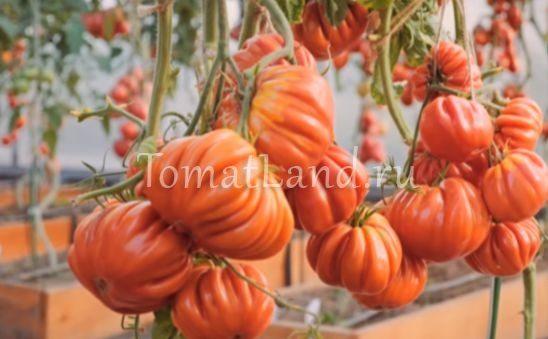 помидоры нина фото отзывы характеристика