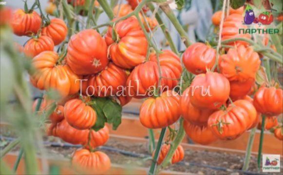 томат нина фото отзывы описание
