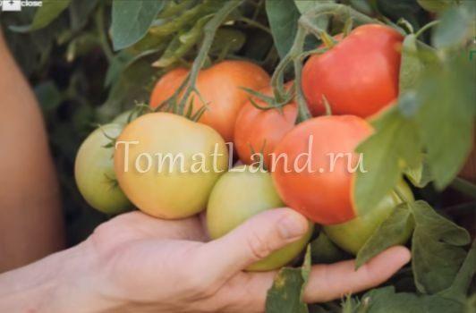 кисть томата верочка фото