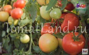 помидоры верочка фото отзывы храктеристика