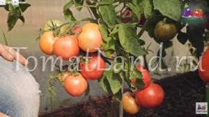 томаты герцогиня вкус а фото характеристика