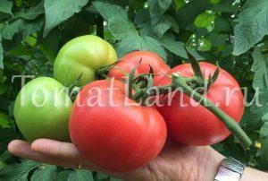 помидоры королева партнер
