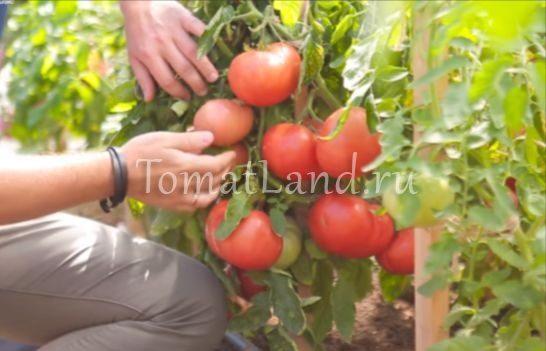 томаты скворец на кусте фото