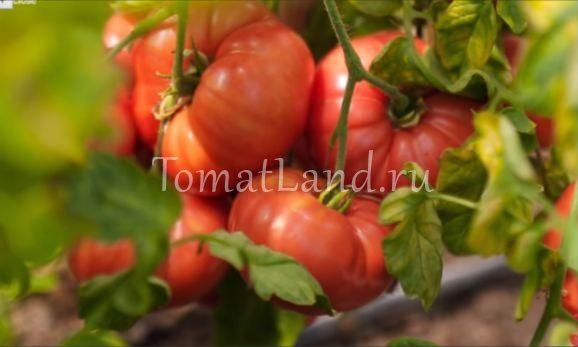 помидор скворец фото отзывы характеристика