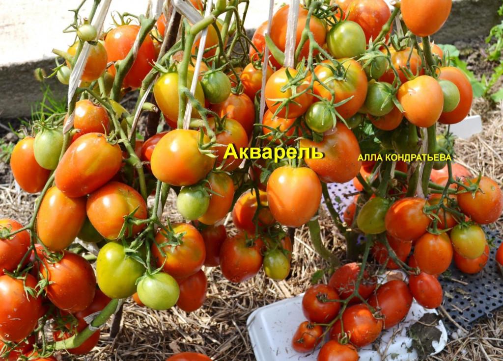 томаты акварель отзывы фото описание