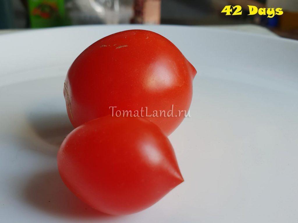 помидор 42 дня фото