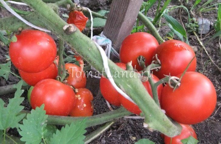 томат уникальный кульчицкого фото