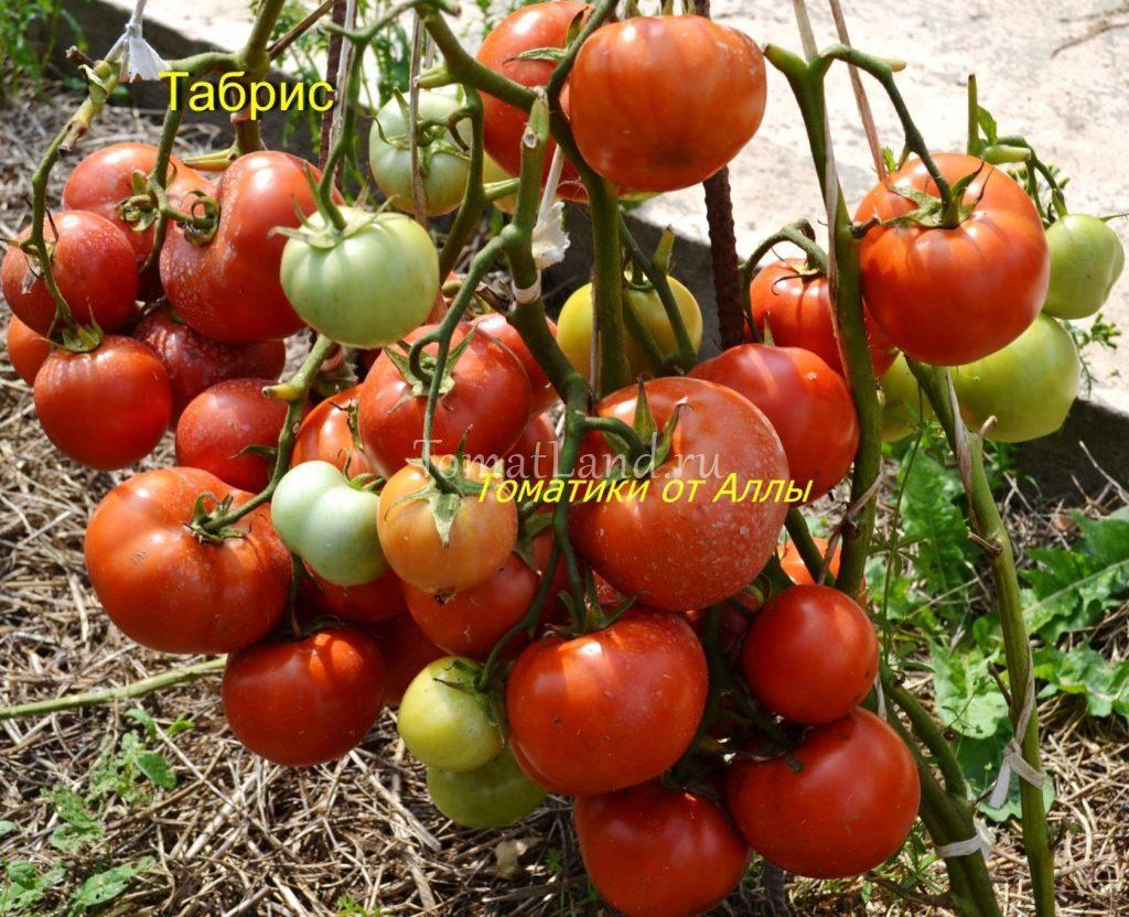 помидоры табрис фото отзывы характеристика
