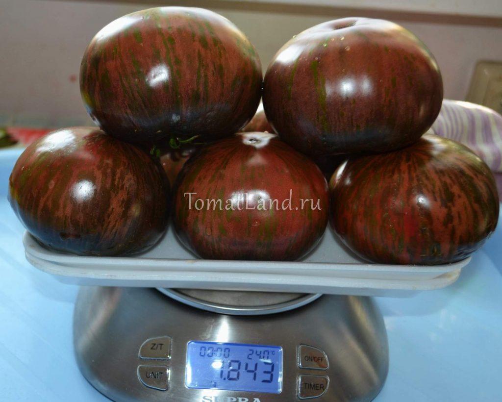 томаты стринги отзывы