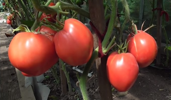 помидор тяжеловес сибири фото отзывы