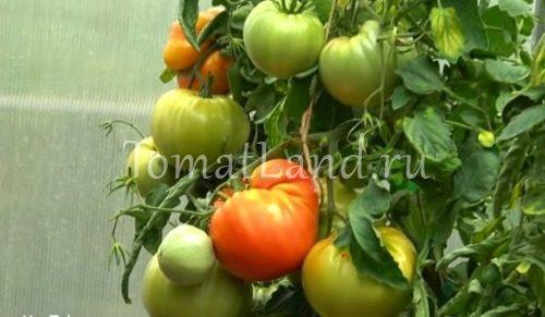помидоры легенда коктебеля описание сорта фото отзывы