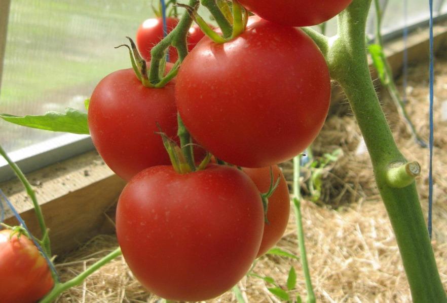 помидор благовест фото отзывы