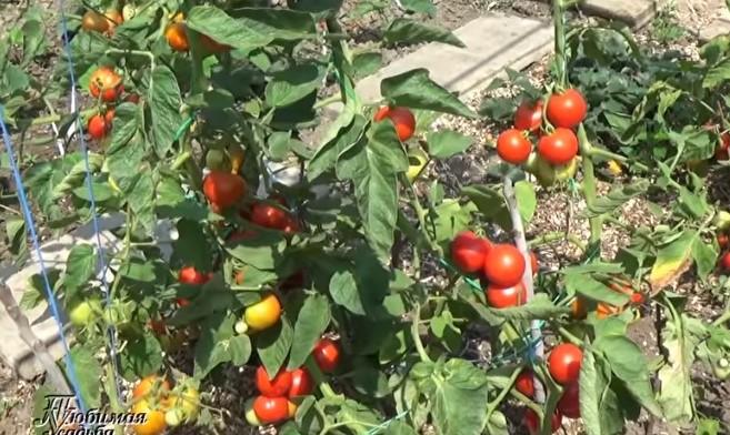 томаты яблонька россии описание отзывы фото
