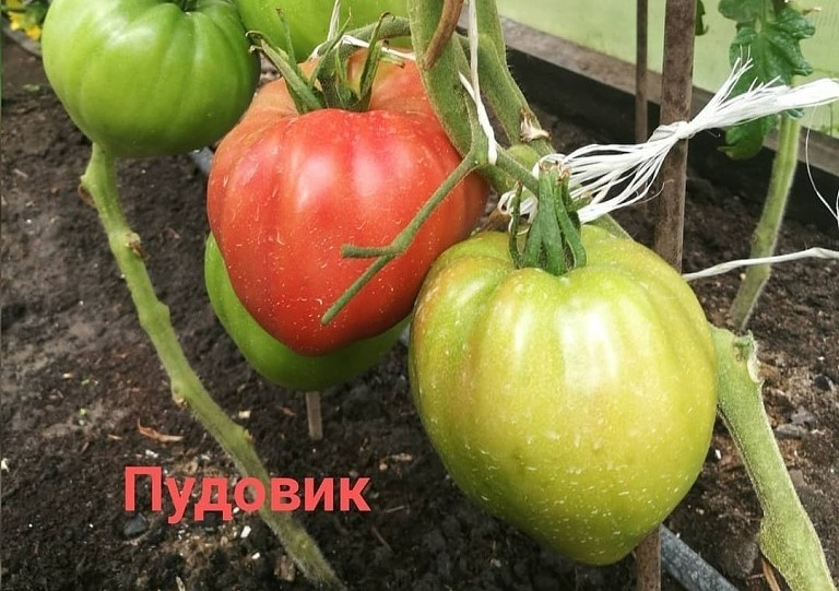 помидор пудовик фото отзывы